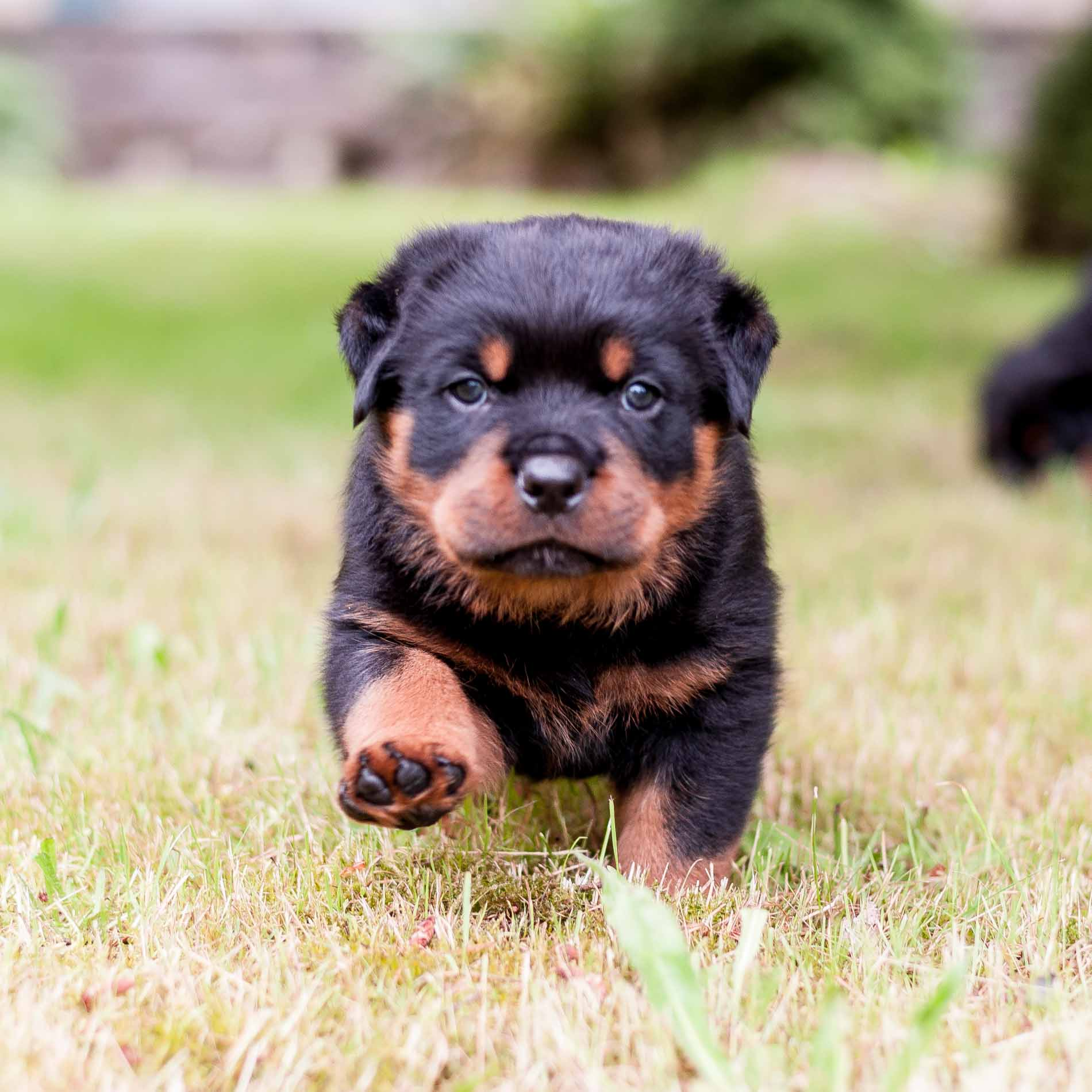 Riverridge Rottweilers Our Rottweilers Are Family